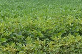 Uočena pojava grinja na usevu soje