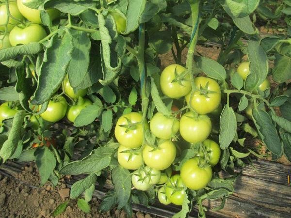Florida paradajz 2