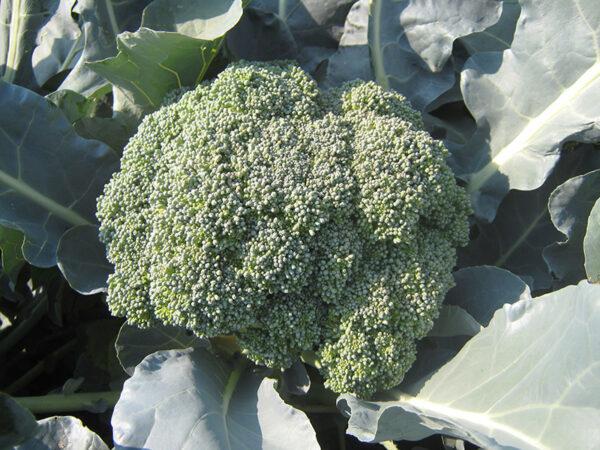 Ironmann F1 brokoli 1