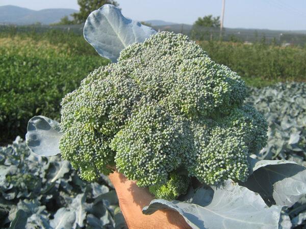 Ironmann F1 brokoli 3