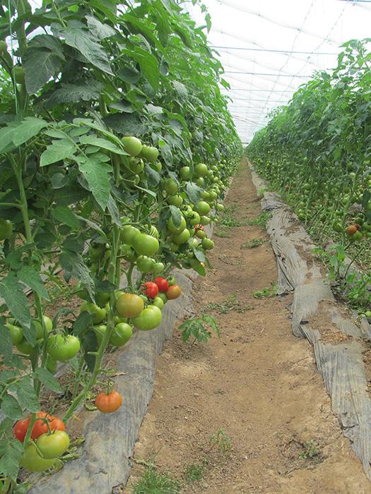 Melodia paradajz 2