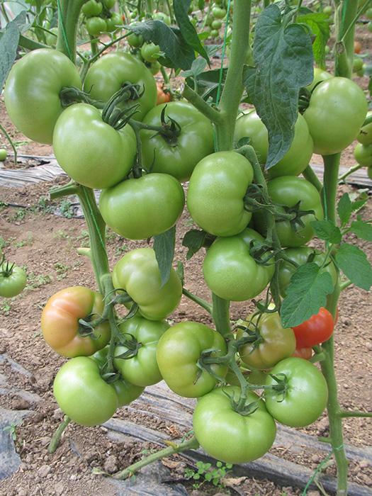 Melodia paradajz 3