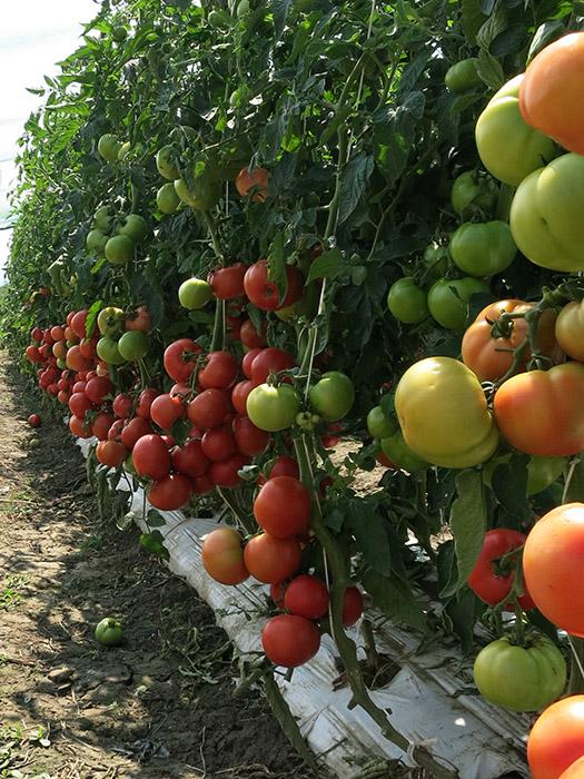 Melodia paradajz 4