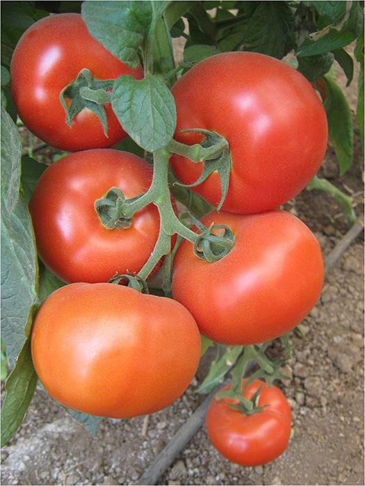 Melodia paradajz 5