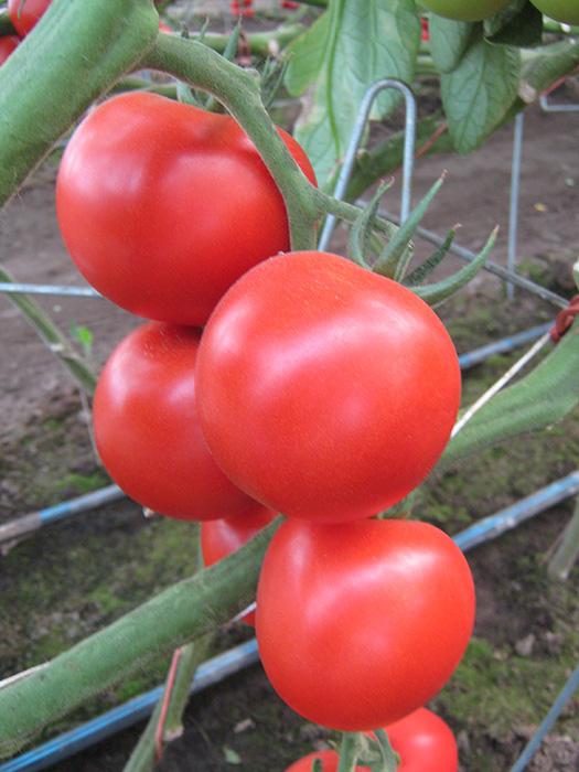 Venezia paradajz 2