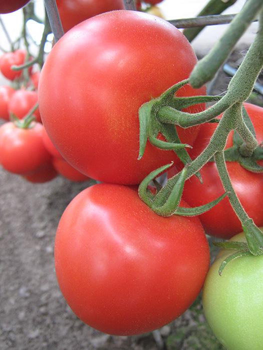 Venezia paradajz 3