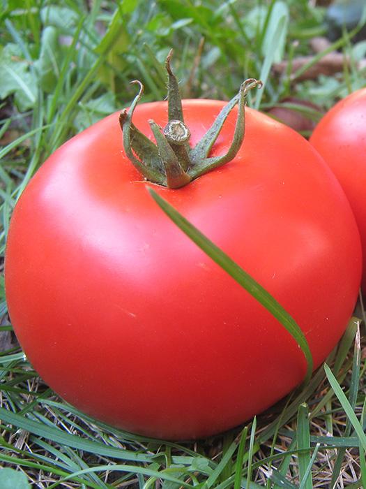 alflfred paradajz 5
