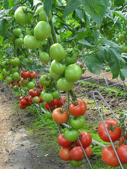 alfred paradajz 1