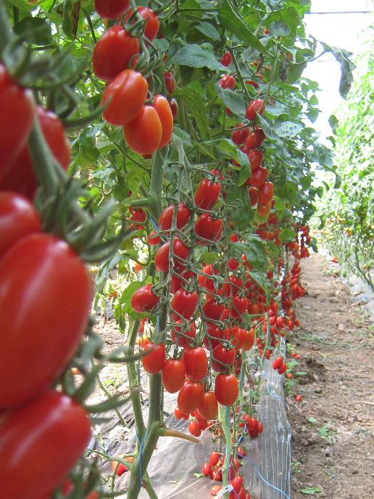 celllo paradajz