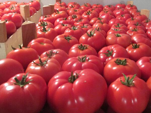 corvinus paradajy 4