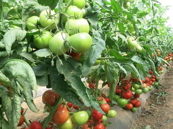 corvinus paradajz 1
