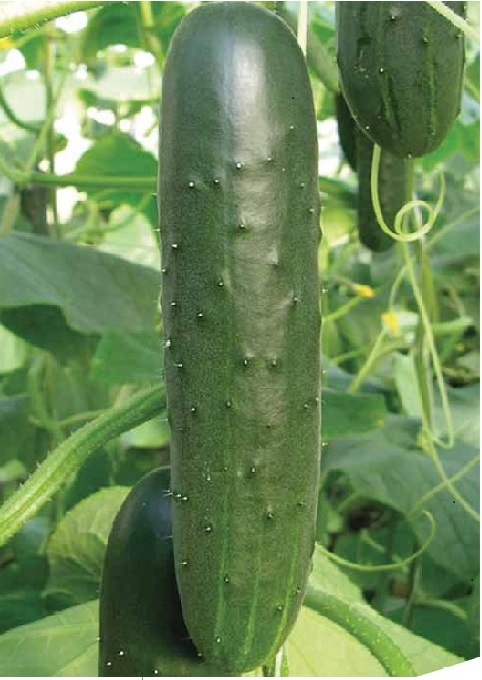 Seminis Flyer (Cucumber) copy