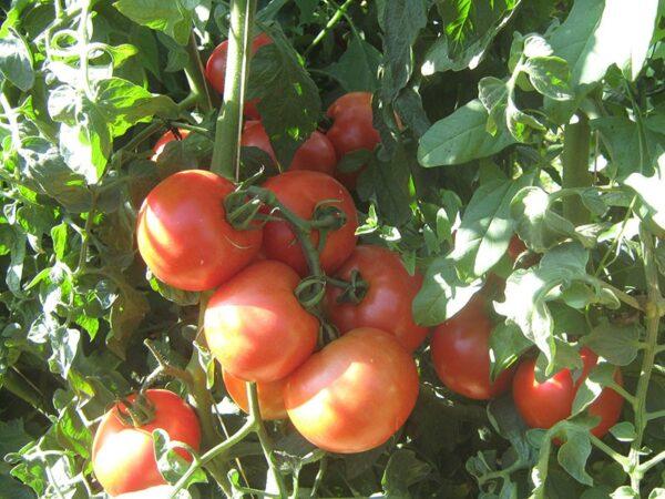 ghardel paradajz 3