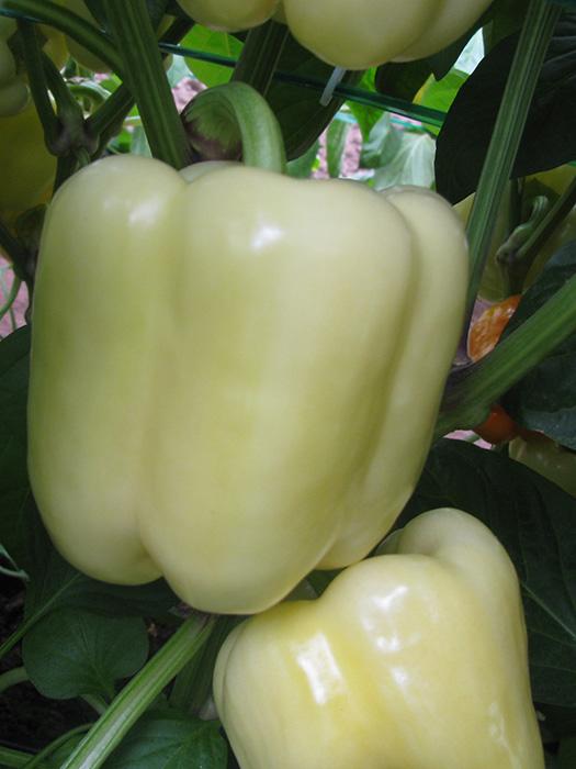 maradonna - paprika 1