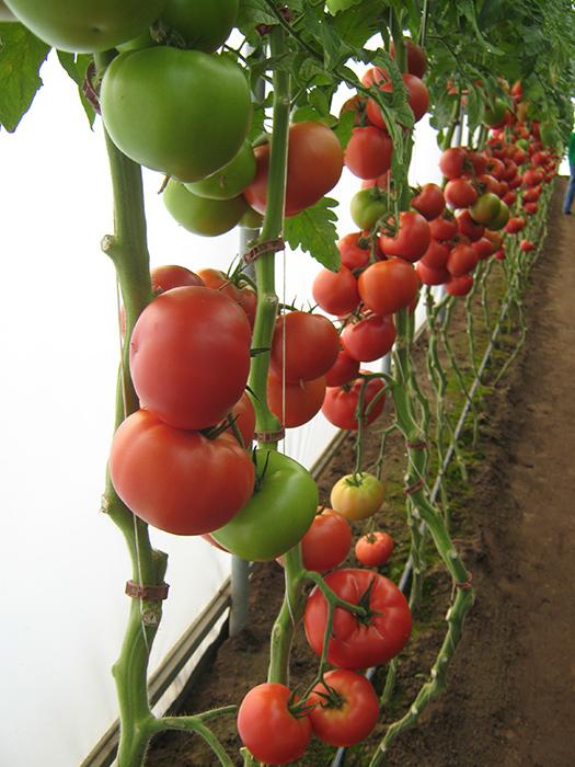 matias F1 paradajz