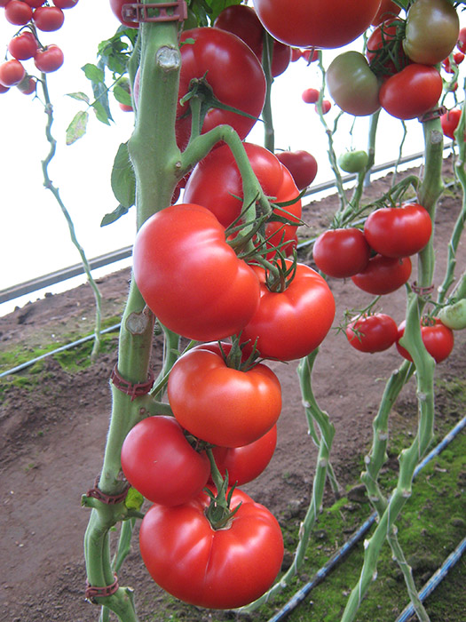 melodia paradajz 1