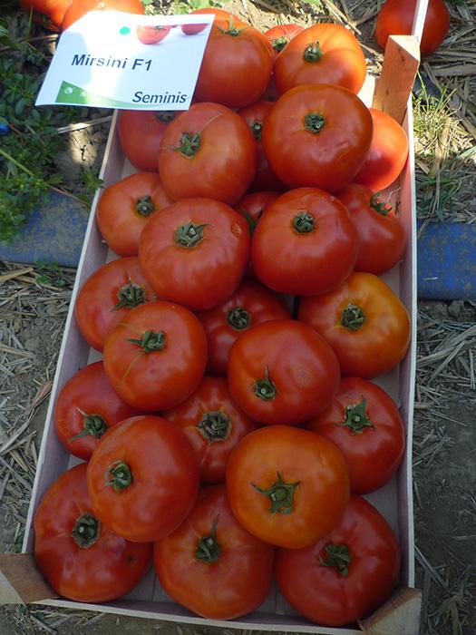 mirsini paradajz 2
