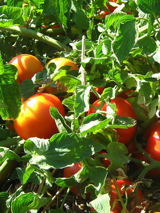 mirsini paradajz