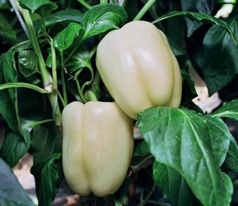 paprika-silba-f1