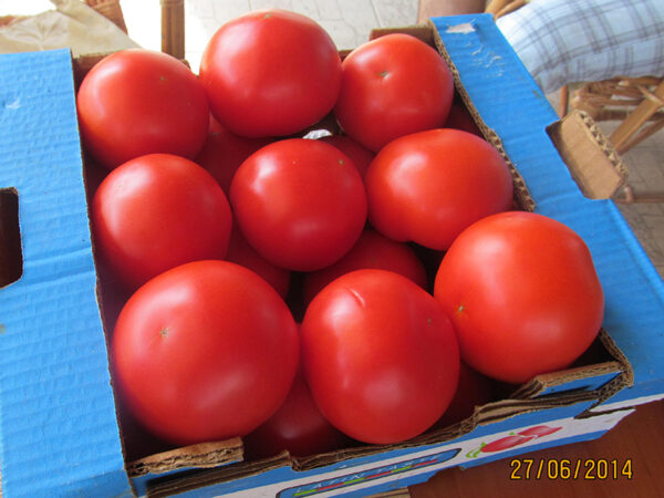 sedmica 4 paradajz
