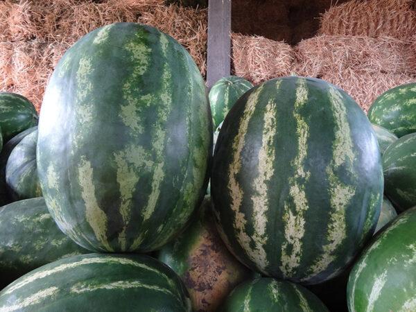 colloseo f1 - lubenica