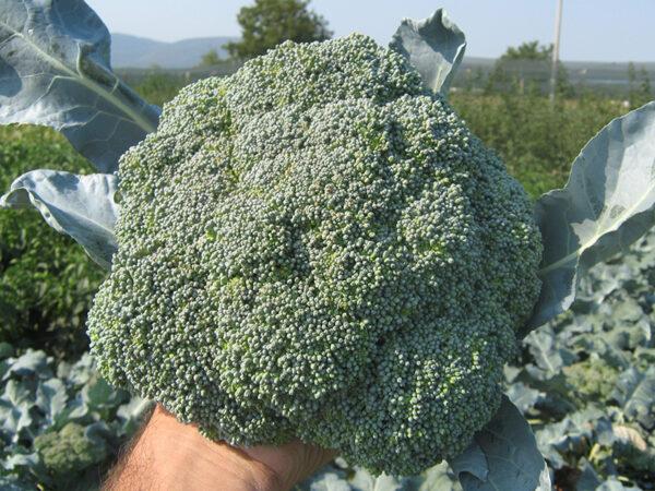 lord F1 - brokoli 1