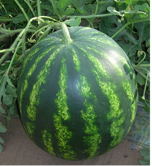bonta f1 lubenica1