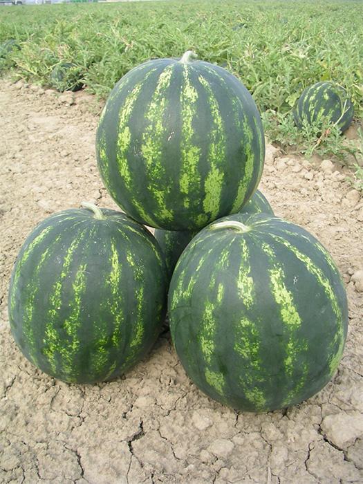 bonta f1 - lubenica2