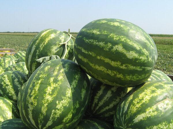 colloseo f1 - lubenica1