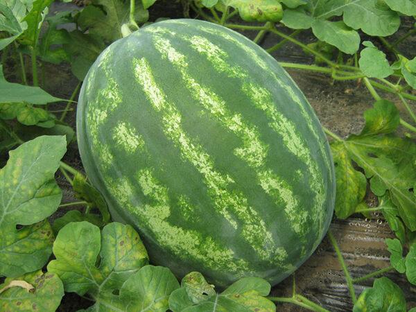 colloseo f1 - lubenica4
